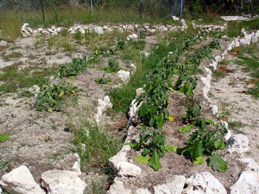 Sustainable tropical agriculture: low-water eggplant crop